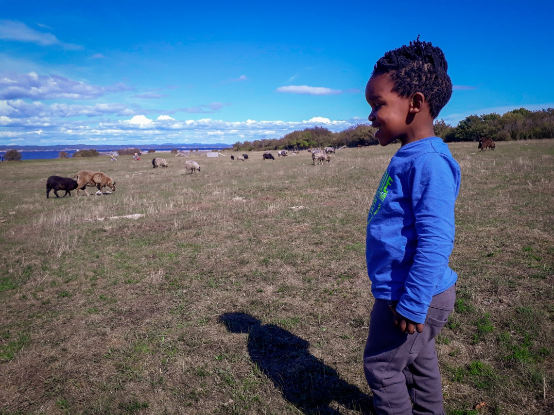 Sheep Jomfruland
